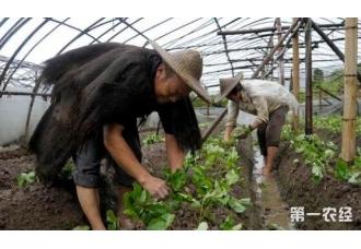 草莓移栽种植的技巧要了解