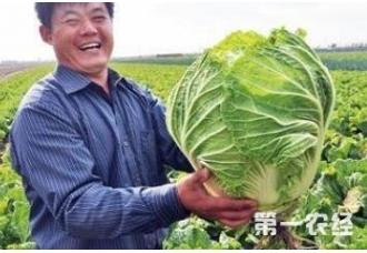 种植白菜如何正确使用生长剂