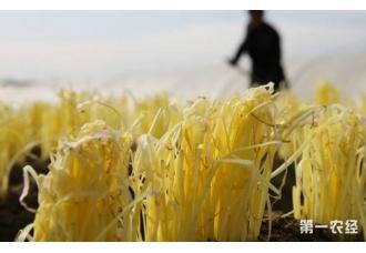 秋季种植韭黄的技巧 要了解这一些