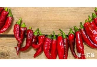 辣椒的采收延长技巧 提升辣椒产量提升