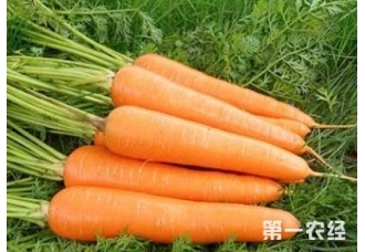 种植胡萝卜如何让胡萝卜早出苗