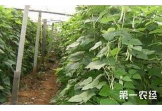 在大棚种菜豆 底产是什么原因
