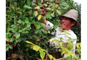 油茶的高产种植讲解