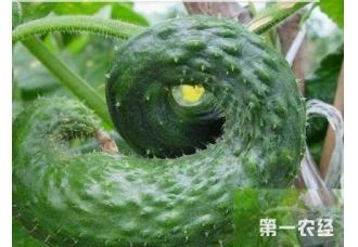 种植黄瓜要注意 黄瓜变畸形的原因和防范措施