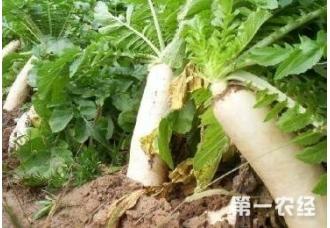 种植萝卜如何提高产量