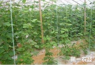 种植菜豆的技巧 了解下面这一些