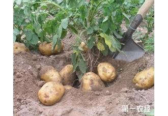 马铃薯的种植方法 我们该怎么去种植