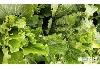 种植大白菜该如何让它快速包心