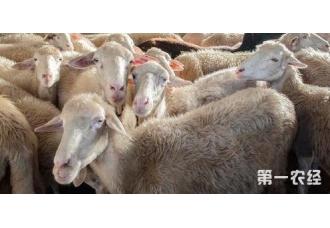 过后的几年里杨养羊的前景怎么样