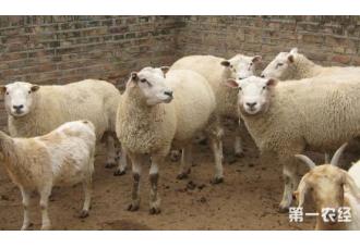 如何选择羊的饲料?快来瞧瞧!