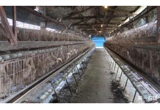 台湾又发禽流感 近四万只鸭扑杀
