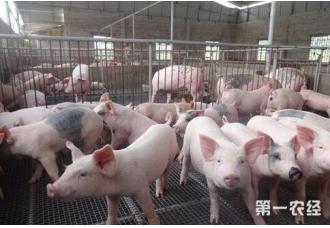想要养猪要了解哪一些技术