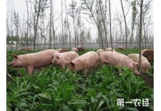 养猪喂什么饲料会比较好一点
