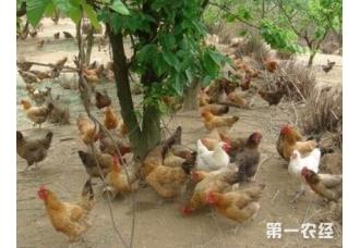 养鸡要怎么让鸡快点生长