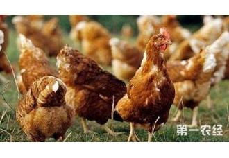 鸡要怎么养 养鸡的成本要多少