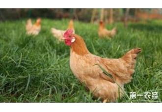 养鸡的知识有哪一些 我们要怎么了解