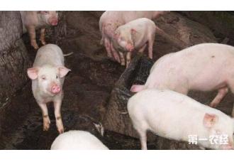 养殖猪的过程中 咳嗽是怎么原因