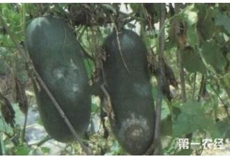 种植冬瓜的过程中发生病害怎么办