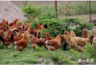 养土鸡的利润高为什么还是会亏损