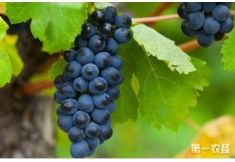 种植葡萄的过程中发生药害要怎么处理 有哪一些技巧