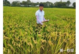 种植水稻要怎么去防范稻瘟病 要怎么去判断