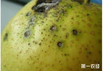 种植梨树要注意哪一些病害 要如何去防范和治疗