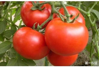 种植番茄要怎么去防范病害