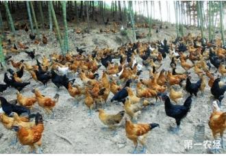 在竹林养鸡好不好 要做好哪一些