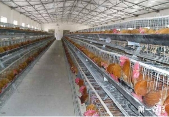 想要养鸡 养鸡场要做好哪一些