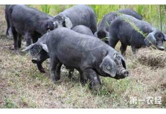 黑毛猪走向大市场