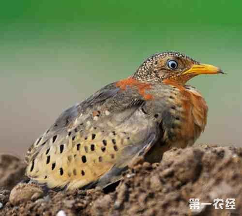 水果的处理方法和鹌鹑的养殖方法喝完疾病汤可以吃鸽子吗图片