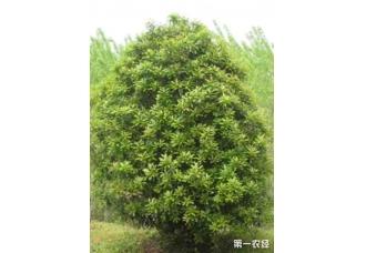 石楠种植方法