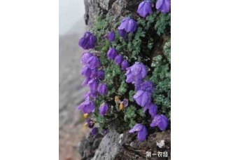 耧斗菜开花漂亮的秘诀