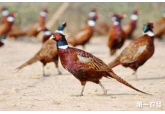 在冬季养殖野鸡要注意的一些点 这一些要了解