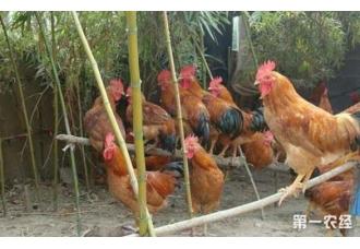 散养土鸡好不好 利润怎么样