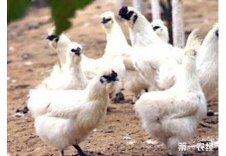 该怎么养殖乌鸡 有没有上面技巧