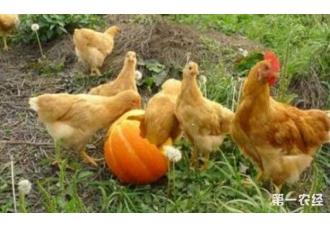 鸡的生蛋率比较高的有几种