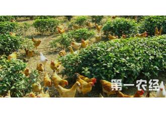 养鸡控光限料的使用技巧你知道吗?