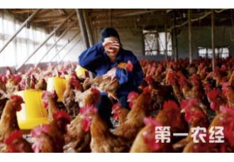 青霉素对养鸡也有好处?注意这几点