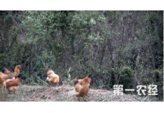 南方与北方养鸡有哪些你不知道的差异?