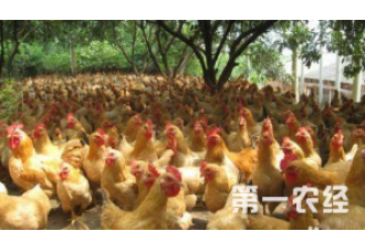 养鸡户常见的问题有哪些呢?