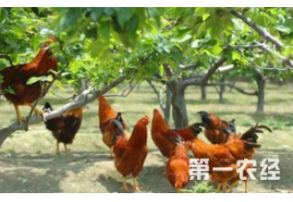 四个技巧告诉你如何山地养鸡