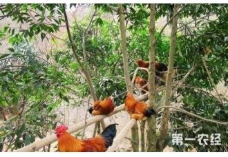生态养鸡要做好哪一些