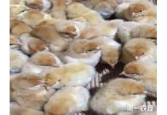 肉鸡的养殖技巧 有哪一些