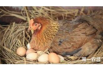 蛋鸡在春天孵化的时候应该注意什么东西?