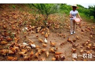 土鸡的养殖方法 有哪一些技巧要知道