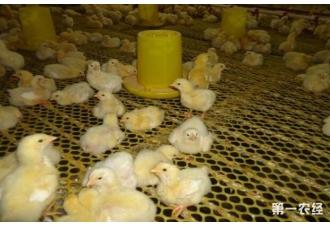 肉鸡的管理技巧 要怎么去养殖