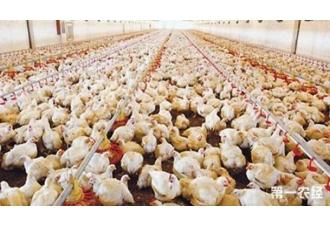 养殖鸡要怎么去提高品质