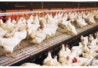 在冬季要怎么养好肉鸡