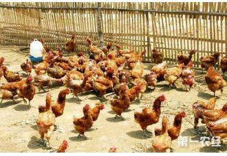 下雨天养鸡场应该怎样应对和处理鸡群?